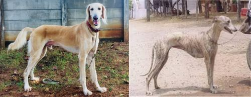 Saluki vs Rampur Greyhound