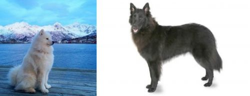 Samoyed vs Belgian Shepherd