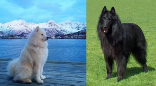 Samoyed vs Belgian Shepherd Dog (Groenendael)
