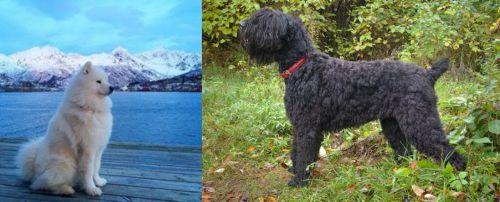 Samoyed vs Black Russian Terrier