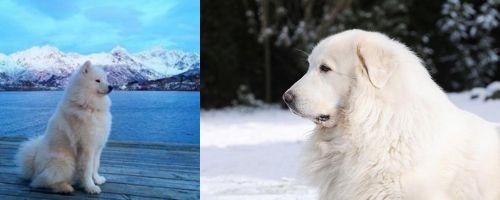 Samoyed vs Great Pyrenees
