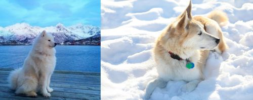 Samoyed vs Labrador Husky