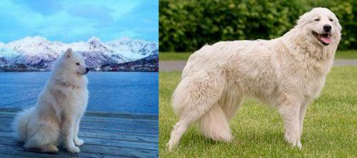 Samoyed vs Maremma Sheepdog