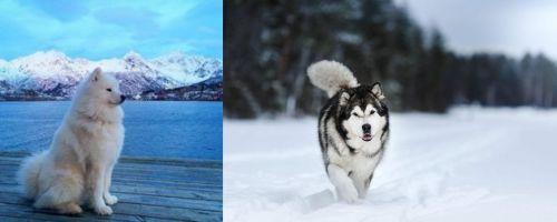 Samoyed vs Siberian Husky