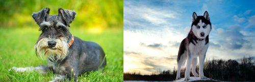 Schnauzer vs Alaskan Husky