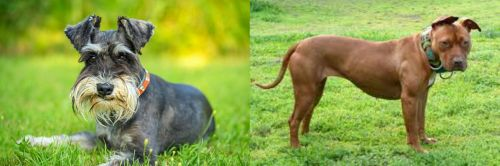 Schnauzer vs American Pit Bull Terrier