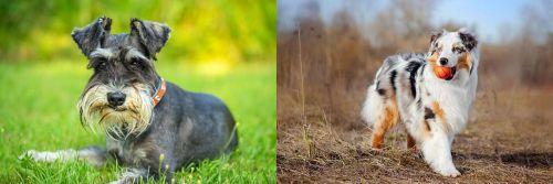 Schnauzer vs Australian Shepherd