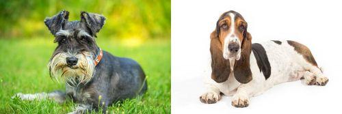Schnauzer vs Basset Hound