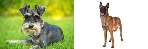 Schnauzer vs Belgian Shepherd Dog (Malinois)