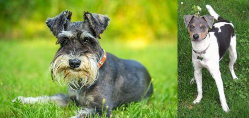 Schnauzer vs Brazilian Terrier