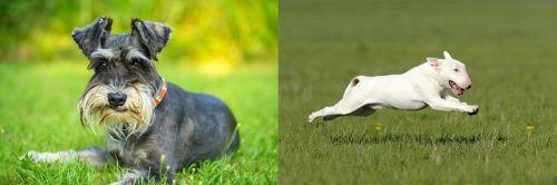 Schnauzer vs Bull Terrier