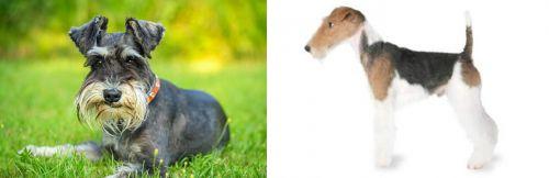 Schnauzer vs Fox Terrier