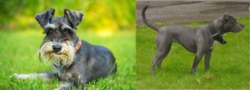 Schnauzer vs Irish Bull Terrier