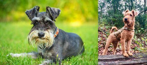 Schnauzer vs Irish Terrier