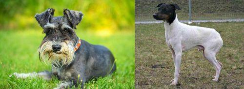 Schnauzer vs Japanese Terrier