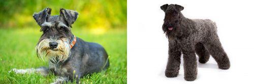 Schnauzer vs Kerry Blue Terrier