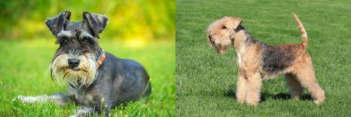 Schnauzer vs Lakeland Terrier