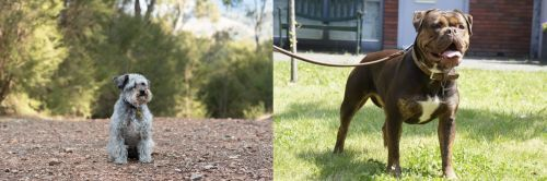 Schnoodle vs Renascence Bulldogge