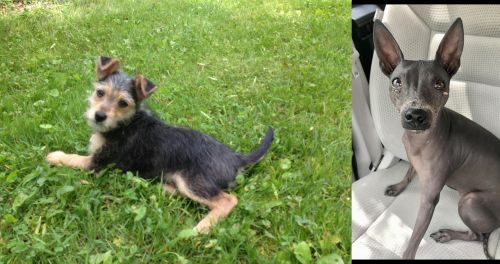Schnorkie vs American Hairless Terrier