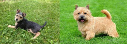 Schnorkie vs Norwich Terrier