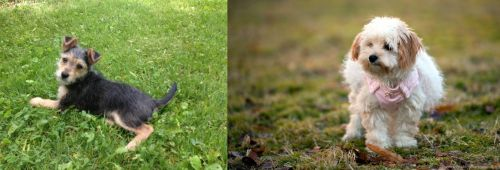Schnorkie vs West Highland White Terrier
