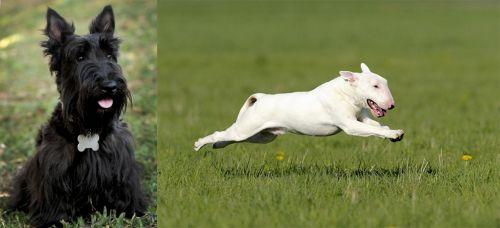 Scoland Terrier vs Bull Terrier