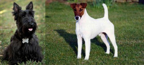 Scoland Terrier vs Fox Terrier (Smooth)