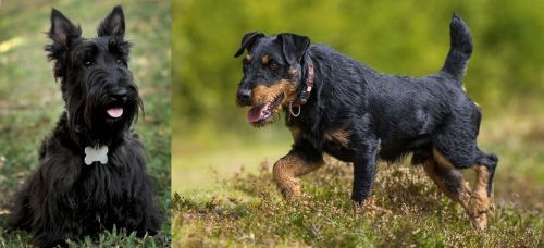 Scoland Terrier vs Jagdterrier
