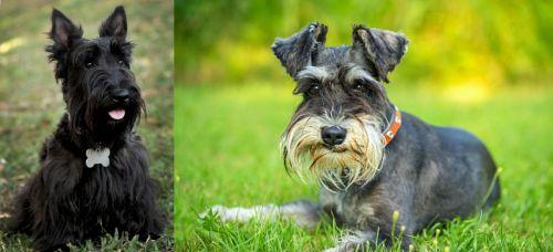 Scoland Terrier vs Schnauzer