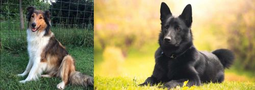 Scotch Collie vs Black Norwegian Elkhound