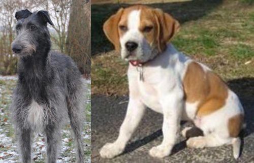 Scottish Deerhound vs Francais Blanc et Orange
