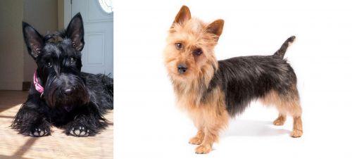 Scottish Terrier vs Australian Terrier