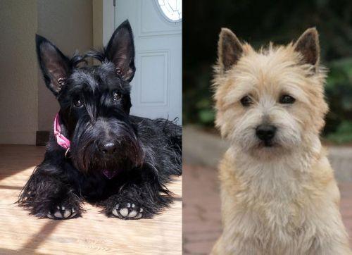 Scottish Terrier vs Cairn Terrier