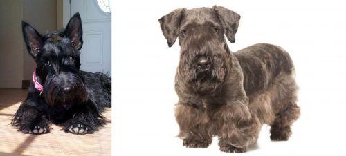 Scottish Terrier vs Cesky Terrier