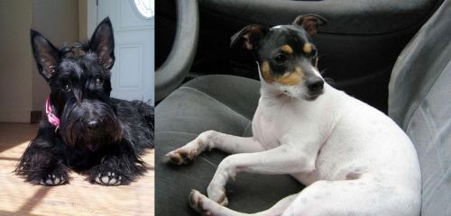 Scottish Terrier vs Chilean Fox Terrier