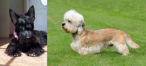 Scottish Terrier vs Dandie Dinmont Terrier