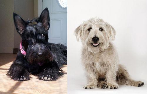 Scottish Terrier vs Glen of Imaal Terrier