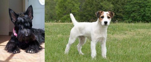 Scottish Terrier vs Jack Russell Terrier