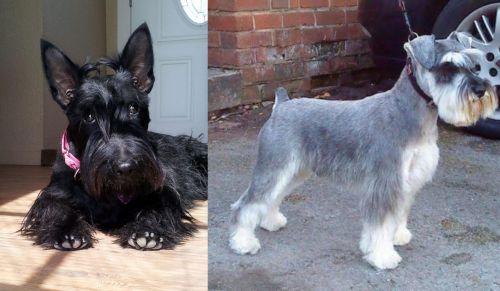 Scottish Terrier vs Miniature Schnauzer