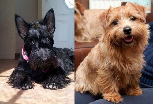 Scottish Terrier vs Norfolk Terrier