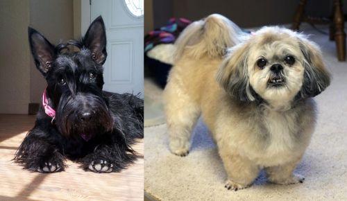 Scottish Terrier vs PekePoo
