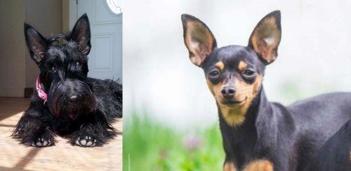 Scottish Terrier vs Prazsky Krysarik
