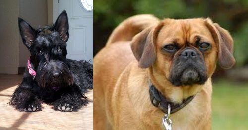 Scottish Terrier vs Pugalier