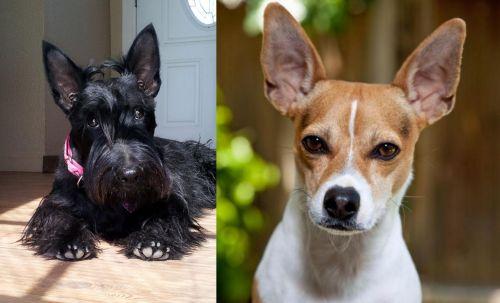 Scottish Terrier vs Rat Terrier