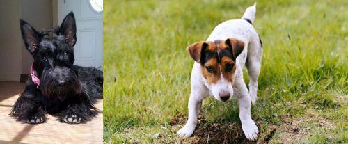 Scottish Terrier vs Russell Terrier