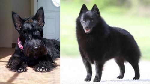 Scottish Terrier vs Schipperke