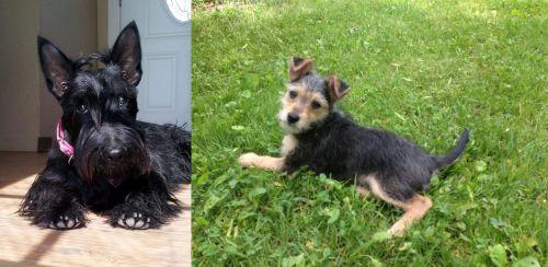 Scottish Terrier vs Schnorkie