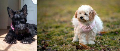 Scottish Terrier vs West Highland White Terrier