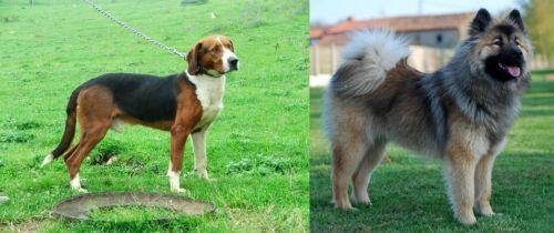 Serbian Tricolour Hound vs Eurasier