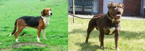 Serbian Tricolour Hound vs Renascence Bulldogge